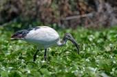 Sacred ibis — Stock Photo