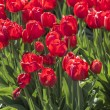 Group of many red tulips with natural background — Stock Photo #52250795