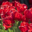Group of many red tulips with natural background — Stock Photo #52250805