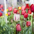 Group of many red tulips with natural background — Stock Photo #52744887