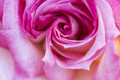 Colorido, hermoso y delicado rosa con detalles — Foto de Stock