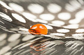 Guinea hen feather with orange water drop and dark background — Zdjęcie stockowe