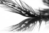 Guinea hen feather with light grey background — Stock Photo