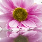 Group of beautiful chrysanthemum flowers with leaves and details — Stock Photo