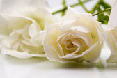 Colorful, beautiful, delicate rose with details — Stock Photo