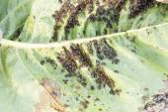 Aphids (Plant lice) on a cherry tree leaf — Zdjęcie stockowe