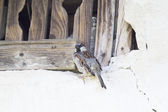 Sparrow (Passer domesticus) on a wall with cracks and wood — Stock Photo