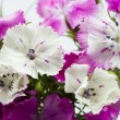 Beautiful chinese carnations (Dianthus chinensis) with details — Stock Photo #55712997
