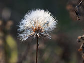 Dandelion seeds with natural background — Stock Photo