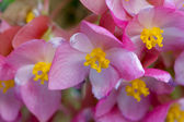 Begonia lucernae - beautiful pink and yellow flowers — Stock Photo