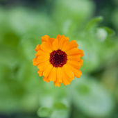 Calendula officinalis - flower with natural bacground — Stock Photo