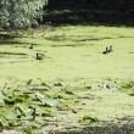 Black small birds and vegetation in Danube Delta, Romania — Stock Photo #68975901