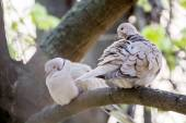 Mourning Doves (Zenaida macroura) on a linden tree branch — Stock Photo
