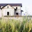Green wheat field and blue flowers with old, abandoned house in the background — Stock Photo #69004759