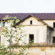 Green wheat field and blue flowers with old, abandoned house in the background — Stock Photo #69004763