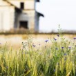 Green wheat field and blue flowers with old, abandoned house in the background — Stock Photo #69004925