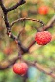Pommes rouges sur la branche — Photo