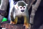 Adult saimiri monkey on blur background — Foto Stock