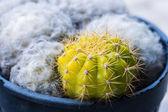 Domestic cactus closeup with white cactus — ストック写真