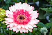 White and pink Gerbera — Stock Photo