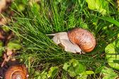 Caracol na grama verde — Fotografia Stock