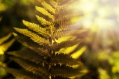 Fern leaf in backlit by the morning sunlight — Stock Photo