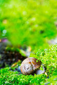 Crawler snail in spring green grass — Stock Photo
