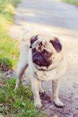 Pug no parque — Fotografia Stock