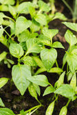 Young pepper seedlings with water drops growing in soil — Stock Photo
