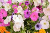 Multicolored flowers in the shape of a bellflower on the flowerbed in the garden — Stock Photo