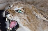 The head is of stuffed lynx cat with aggressive snarling maw — Stock Photo