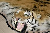 Carpet representing skins and heads aggressive snarling tiger adornment of interior — Stock Photo