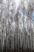 Birch forest with drawn branches of trees without foliage under the open sky — Stock Photo