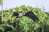 Marabou stork (leptopilos crumeniferus) — Stock Photo