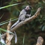 Black tufted-ear marmoset, Callithrix penicillata, Brazil  — Stock Photo #58618319