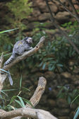 Black tufted-ear marmoset, Callithrix penicillata, Brazil — Stock Photo