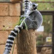 A Ring-tailed lemur sits and looks around — Stock Photo #59554293
