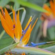 Tropical flower strelitzia, bird of paradise — Stock Photo #62381387