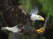 Bald Eagle (lat. haliaeetus leucocephalus) — Stock Photo