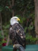 Bald Eagle ( haliaeetus leucocephalus) — Stock Photo
