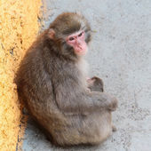 Macaca fuscata — Stock Photo