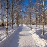 Arkhangelsk, Russia. Birch alley in winter — Stock Photo #57575849