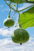 Tree bottle gourd — Stock Photo