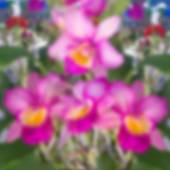 Blurry image of pink orchid in garden. — Stock Photo
