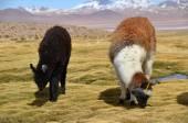 Llama on the Laguna Colorada, Bolivia — Stock Photo