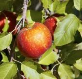 The closeup of apple tree — Stock Photo