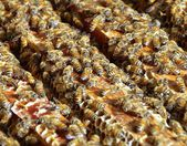 The closeup view of honey bees — Stock Photo