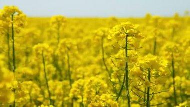 Canola flower, rape crop, background — Stock Video