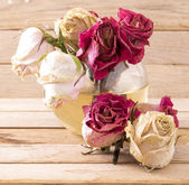 Rosas marchitas — Foto de Stock