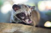 Asian Palm Civet  produces Kopi luwak — Stock Photo